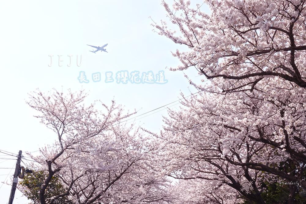 濟州涯月邑長田里櫻花隧道 애월읍장전리벚꽃,帶歐巴來這裡放閃吧!