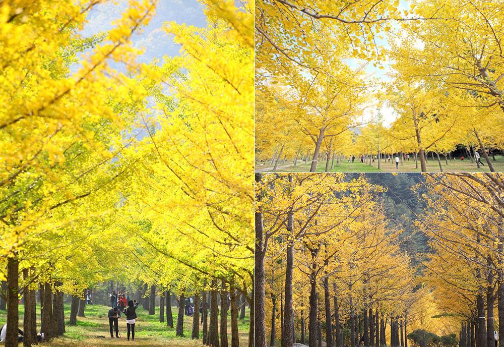 洪川 銀杏林 홍천 은행나무숲