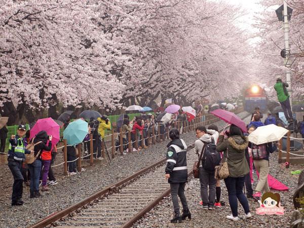 鎮海慶和車站櫻花路진해경화역벚꽃길015.jpg