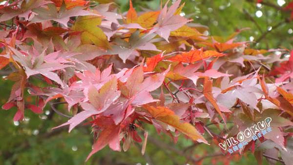 晨靜樹木園秋楓紅0026.jpg
