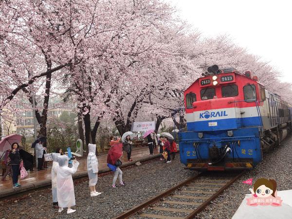 鎮海慶和車站櫻花路진해경화역벚꽃길017.jpg