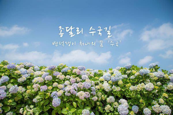 濟州島景點 | 浪漫繡球花夏日最美! 用無數花瓣綻開期間限定的美麗