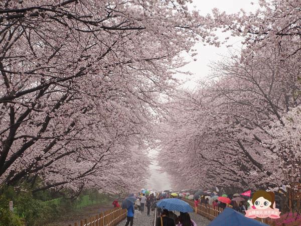 鎮海慶和車站櫻花路진해경화역벚꽃길014.jpg