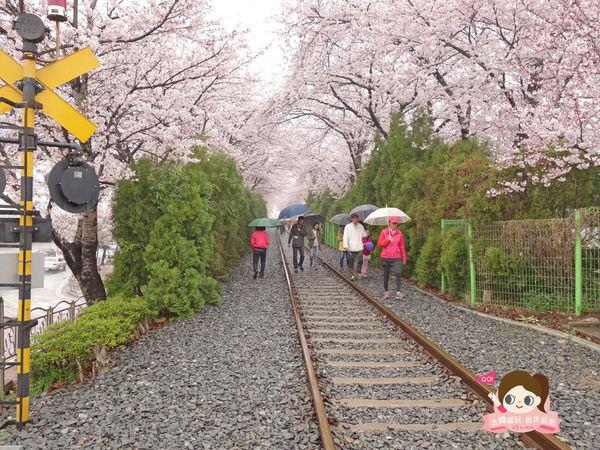 鎮海慶和車站櫻花路진해경화역벚꽃길012-1.jpg
