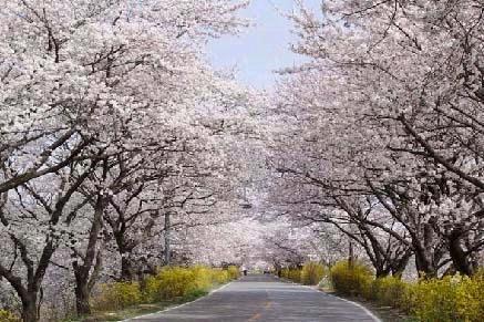제주왕벚꽃축제.jpg
