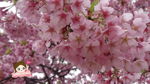 日本.賞櫻 | 2016日本賞櫻最近情報~今年櫻花偷跑囉!快追!